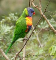 Rainbow Lorikeet by BreeSpawn