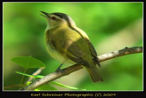 Red-eyed Vireo 1 by KSPhotographic