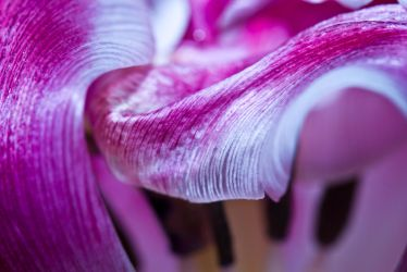Texture and flow. Macro Tulip by BusterBrownBB