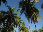 Coconut Trees by Scarletcat1