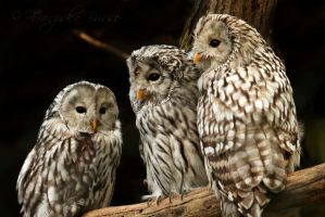 Ural owls by Gambassi