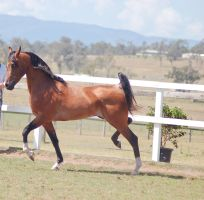 GE Arab bay trot high hock trot by Chunga-Stock