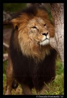 Lion: Contemplative by TVD-Photography
