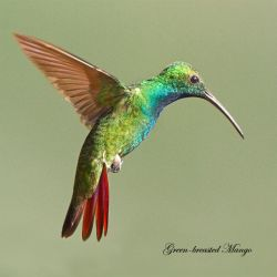 Green Breasted Mango by Jamie-MacArthur