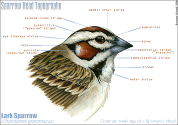 Topography of a Sparrow Head by winternacht
