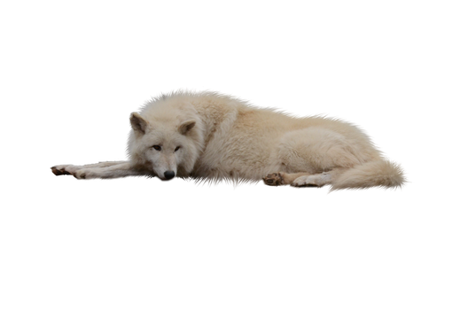 Laying White Wolf PNG by RAYNExstorm