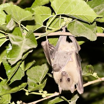 Egyptian fruit bat wz baby by Vollmilch2001