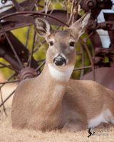 White-tailed Deer 2 by EdgedFeather