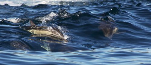 Common Dolphins surfing II by orcamistress101