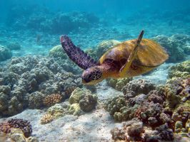 Green Turtle by RawHamster