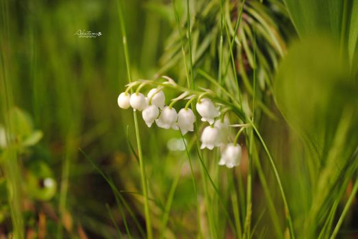Lily of the valley. by Akatamy
