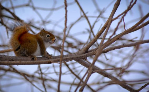 Young Red Squirrel by ceruleankangaroo
