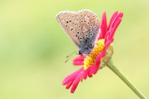 Common blue butterfly again by AngiWallace