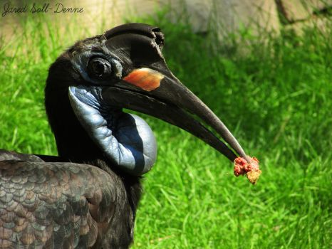 Abyssinian Ground Hornbill by Soll-DenneGallery