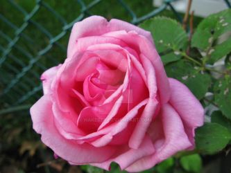 Another pink rose by HakebeR