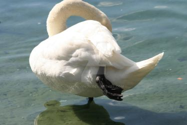 Swan Yoga by SunGryphon