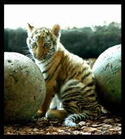tiger baby 4 by miezbiez