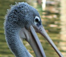 Pelican. by Archaeismus