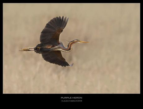 Purple Heron II by ClaudeG