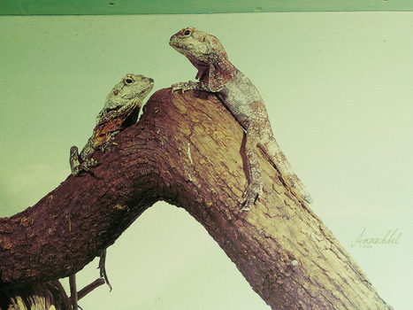 Iguanas at the top by Annahbel