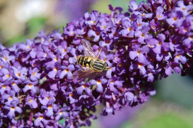 Hover Fly by juliejools