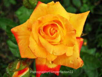 Summer rose by Imperfection22