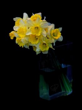 daffodils by aiscape