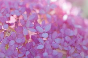 Pink Annabelle Hydrangea by SarahharaS1
