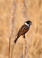 Reed Bunting by monkmonk12