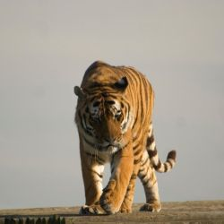 Prowling tiger - Stock by Sassy-Stock