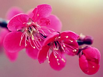 Cherry blossom by Lileya