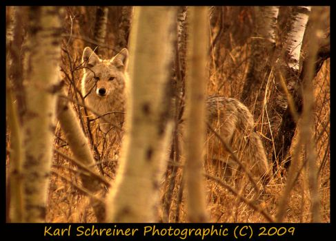 Coyote by KSPhotographic