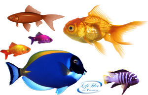 Goldfish - PNG by lifeblue