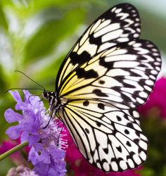 Butterfly02 by AccessAccess