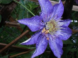 Clematis with rain drops by analovecatdog