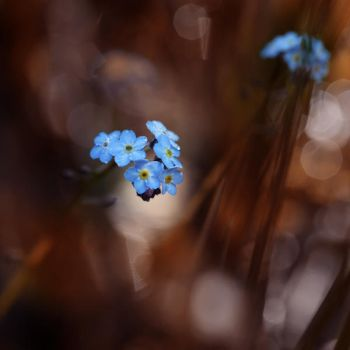Forget me not 2 by Floriandra