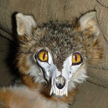 Gray Skullfox close up by Tricksters-Taxidermy