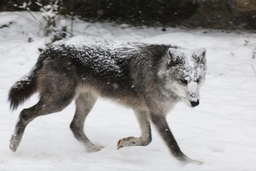 Gray Wolf Stock 41: Running in Snowstorm by HOTNStock