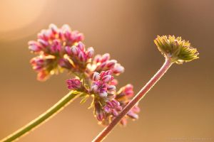 Last light for pink wildflowers by isotophoto