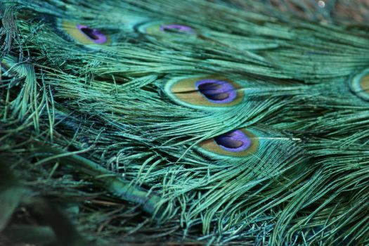 peacock feathers by bfoflcommish