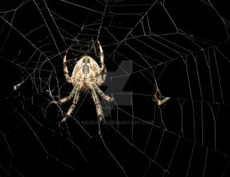 In the web by Randal01