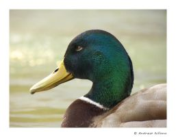 duck by gillo-88