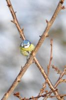 Blue Tit by Dariaocean