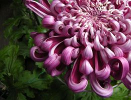 Curly Chrysanthemum by whtmage