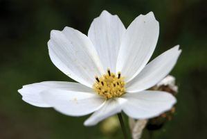 White Cosmea by OfTheDunes