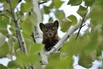 American marten in aspen tree 3 by themanitou