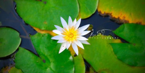 A Mid-flower above Water Lilies by AnneBalanon