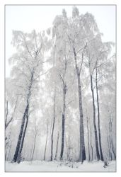 Frosty Birch Forest by snader