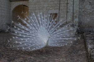 Peafowl001 by ov3