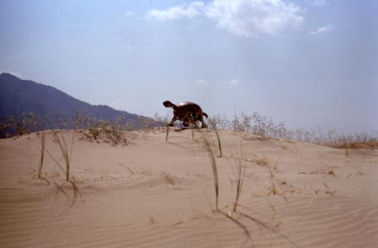 Gordon cresting sand dune by Thegourdhouse